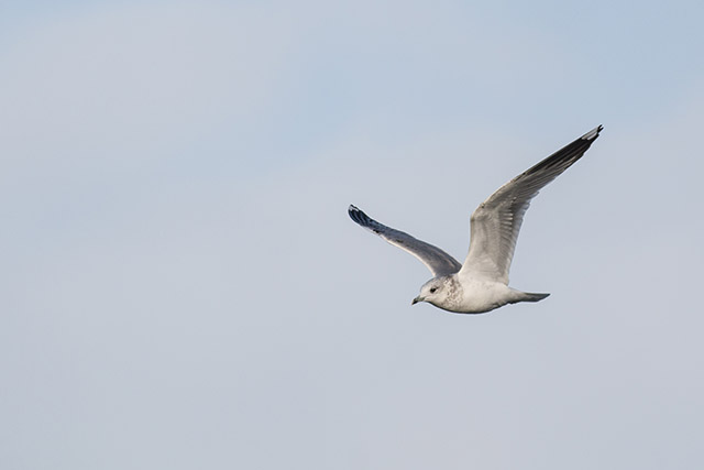 Common Gull in flight
