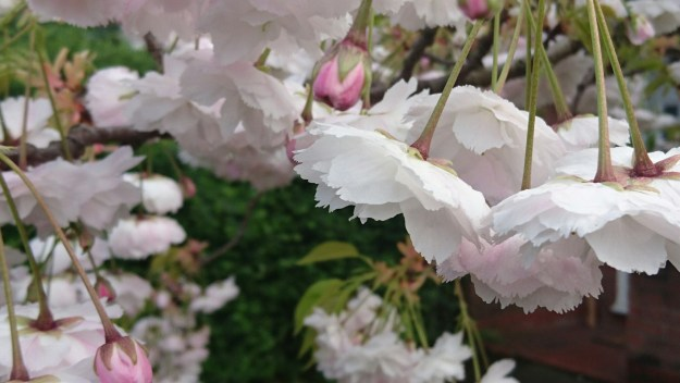 close up of white with a hint of pink cherry blossom