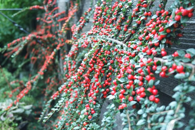 Cotoneaster horozontalis with small red berries