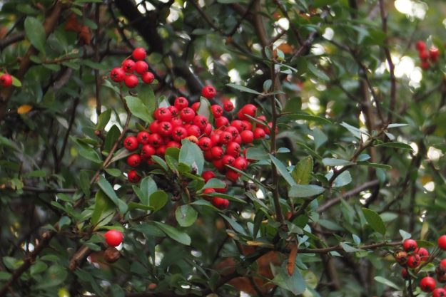 a group of red berries amouny dark green leaves pyracantha red fire thorn