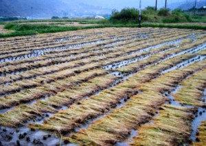 Paddy crop destroyed by rains in Bhutan. (Photo via Kuensel Online)