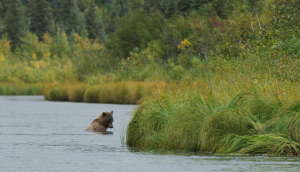 This male cub is a recent addition to Alaska's population of 30,000 grizzlies. (Photo by Joe Riis, via OnEarth)