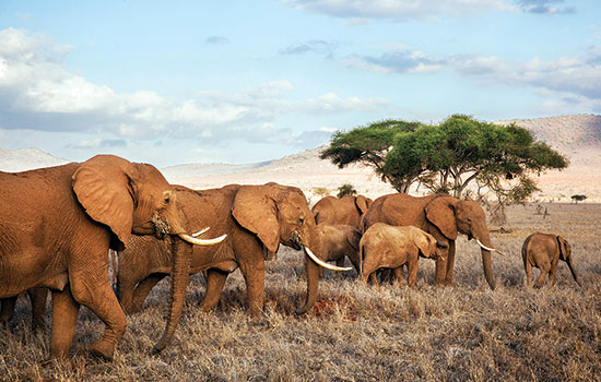 A herd of elephants in Tsavo West National Park, Kenya. (Photo by Panos/Martin Roemers, via AfricaRenewal)