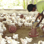 A boy feeds chickens in northern Bangladesh. It is estimated that due to poultry feed being manufactured from tainted leather tannery waste, up to 25 percent of chickens in country contain harmful levels of chromium. )Photo by Kamrul Hasan Khan/IRIN)