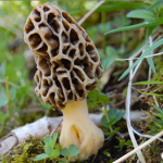 In the Hindu Kush Himalayas the mushroom is worth its weight in gold.(Image from Wikimedia)
