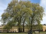 Royal Plane Tree