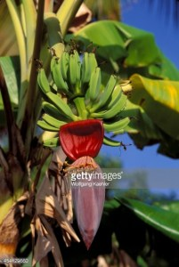 BRITISH VIRGIN ISLANDS - 1994/01/01: British Virgin Island, Tortola Is., Roadtown, Banana, Blossoms And Fruit. (Photo by Wolfgang Kaehler/LightRocket via Getty Images)