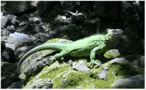 Invasive-Iguana