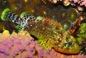 green-speckled-scorpionfish
