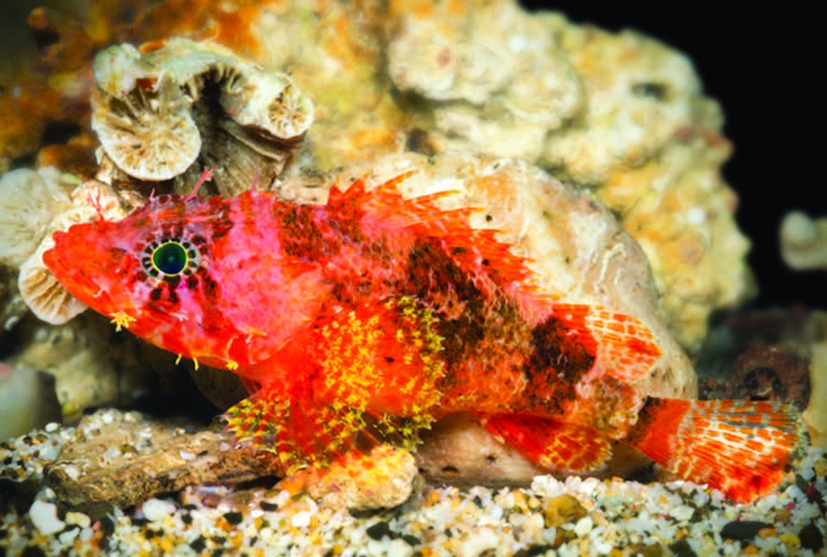 Neon-Colored \'Starburst\' Scorpionfish Discovered In Curacao - Virgin ...