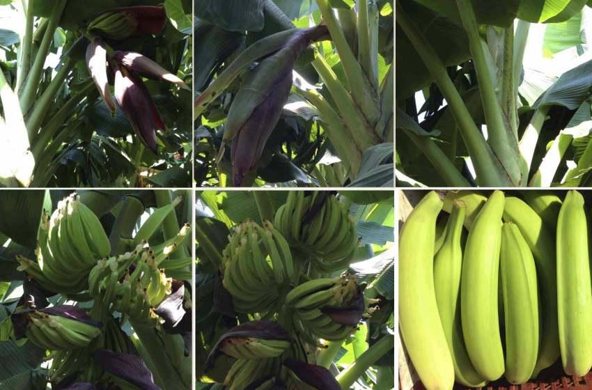 La escasez del plátano; causa, efecto y solución