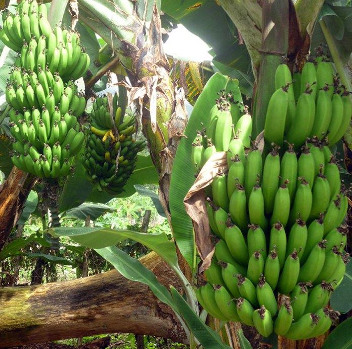 Destacan las cualidades nutritivas del guineo maduro. (Fotos: Onésimo Medina)