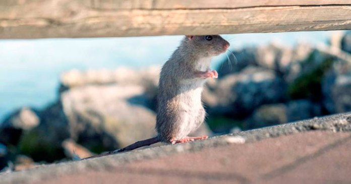 ratas y marihuana