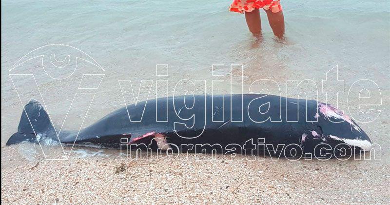 Encuentran cachalote muerto en playa Costambar de Puerto Plata