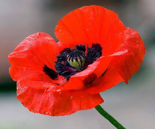 Poppies   Oz Wiki   FANDOM powered by Wikia Poppy Flower