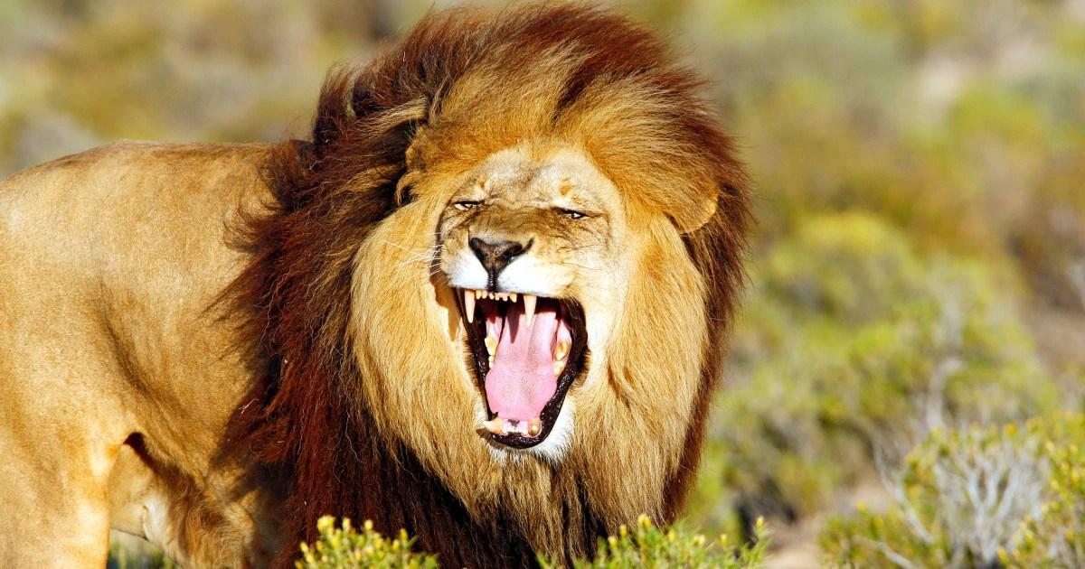 Lion Tier Zoo Wiki FANDOM Powered By Wikia