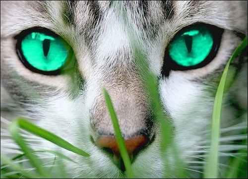 Eyes White Pictures Gray And Cats Fur Nose Black Green And And