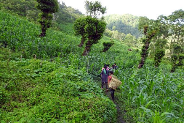 Women farmers from Enhulumi village in their jhum fields.