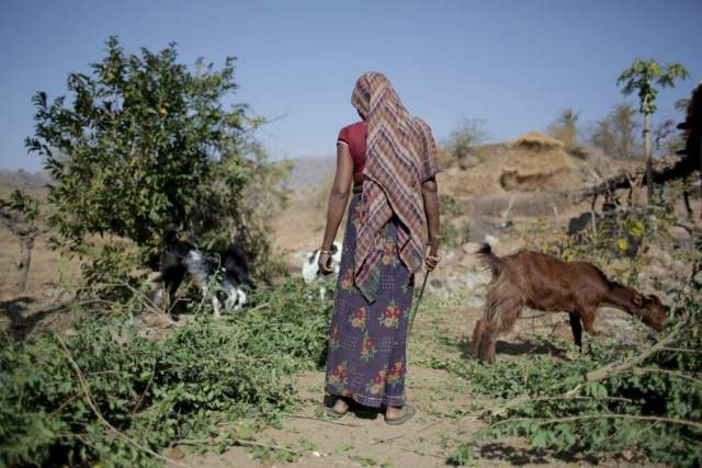 Sumi Bai cuts up the branches of the tree she has just cut as fodder for her goats in Kayarakhet village, Udaipur.