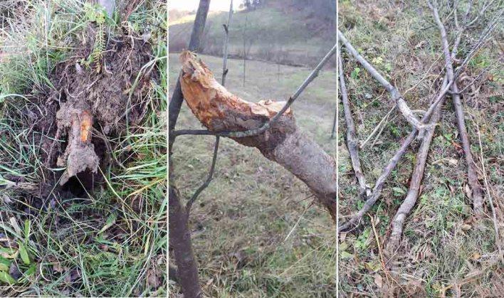 Šteta je ogromna, Samr Bunić ne zna o čemu se radi, šta mu uništava sadnice šljive...