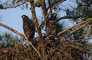 Eagles at Berry College. Undated photo.  Photo by Gena Flanigen./Contributor