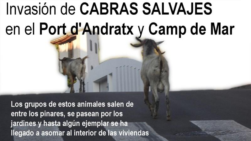 CABRAS SALVAJES ANDRATX