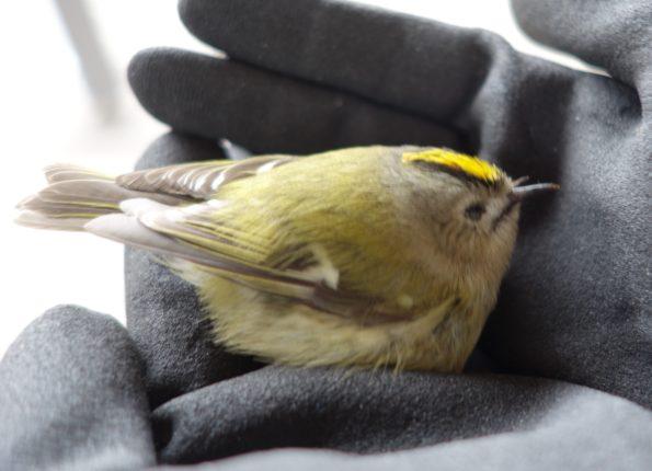 fuglekonge redningsaktion