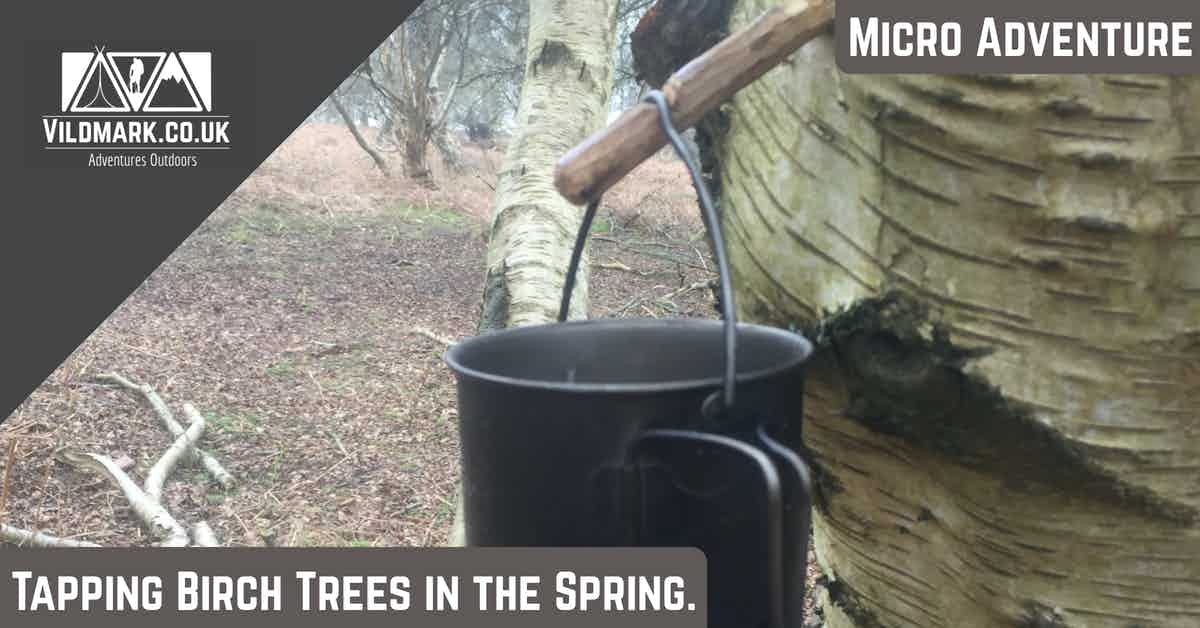 Tapping Birch Trees in the spring