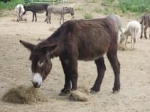 L'âne corse protégé