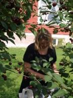 Høsting og matauk i gang - men det er litt av en jobb å fjerne kirsebærsteiner.