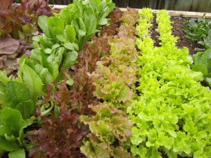 Fresh grown lettuces