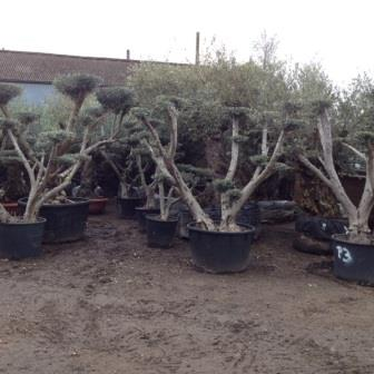 Cloud Pruned Specimen Olive Trees **Please contact us if this is what you are looking for**