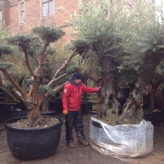 Ancient and Gnarled Olive Tree Double and Triple Trunks **Please contact us if this is what you are looking for**