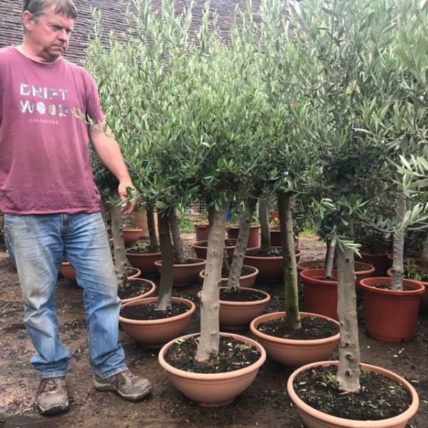 Mature Chunky Olive Tree (generic picture)