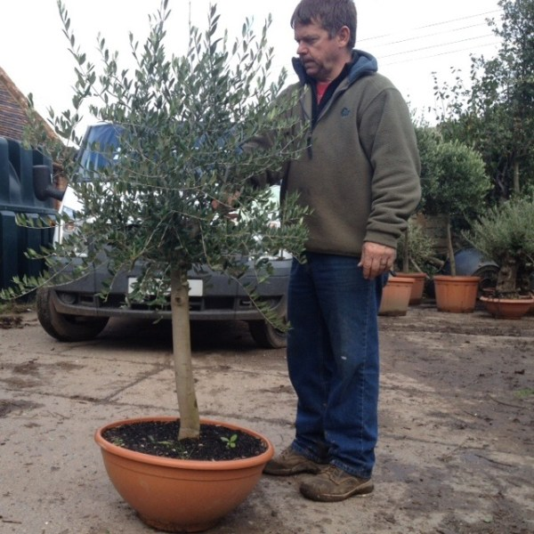 Semi Mature Olive Trees with good Crowns