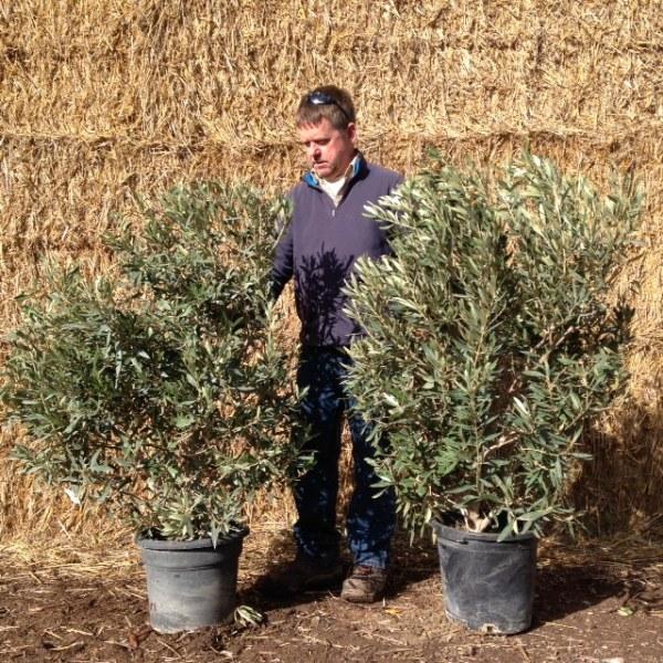 Olive Tree Shrub (generic picture)