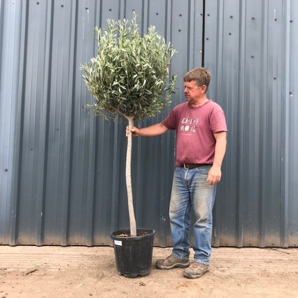 Standard Olive Trees (generic picture)