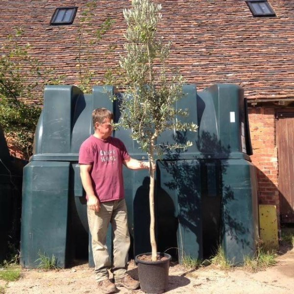 Olive Tree - Good for Front Garden Screening (Generic picture please ask if you are looking for a similar tree)