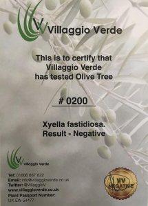 Olive Tree B30