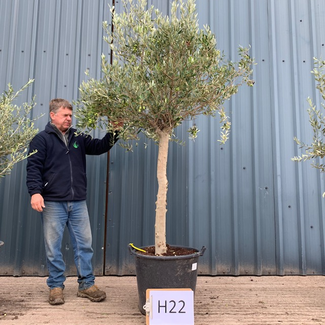 OLIVE TREE H22