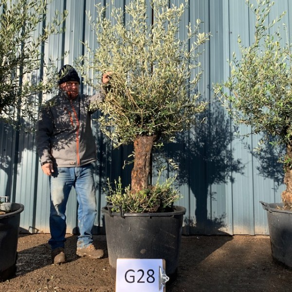 Olive Tree G32A