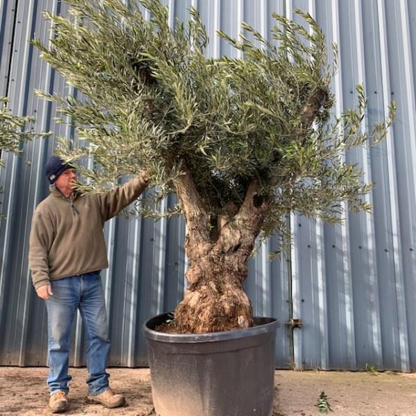 Olive Tree L127
