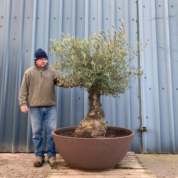 Olive Tree LP2