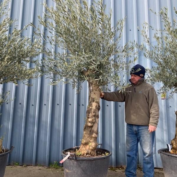 Olive Tree V37