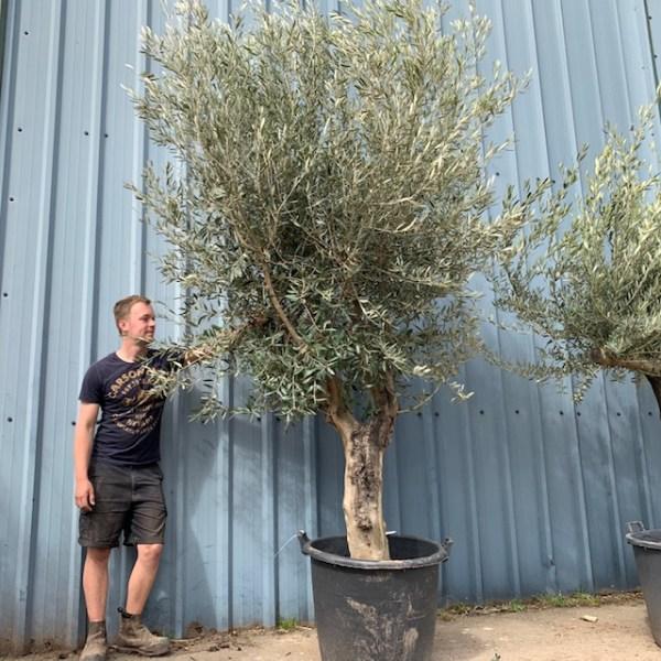 Olive Tree Specimen F37