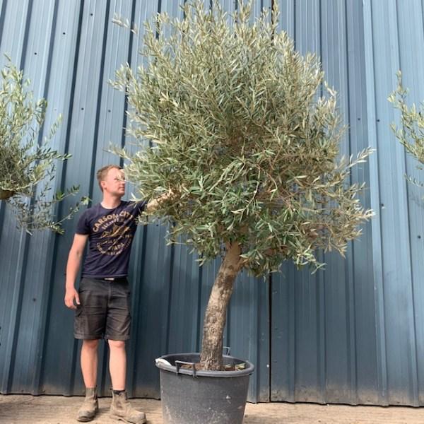 Olive Tree Specimen F38