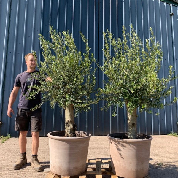 Olive Tree Patio Collection L446 Soft Grey Pots