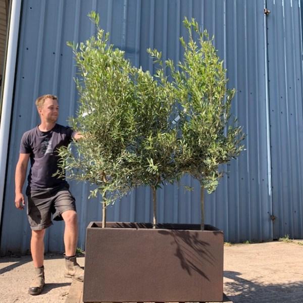 Olive Tree Trough L456