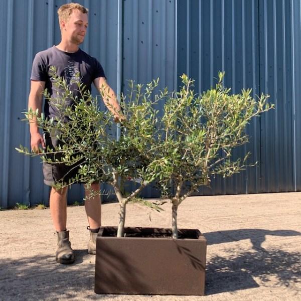 Olive Tree Trough V125