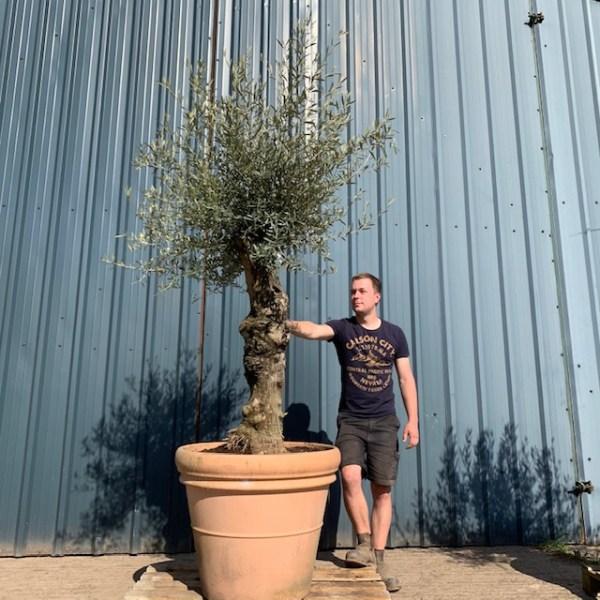 Olive Tree Specimen V42